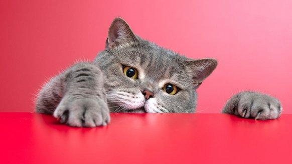 Kediler insanları kandırıyor mu? Kedi beyninin gizemi araştırıldı!