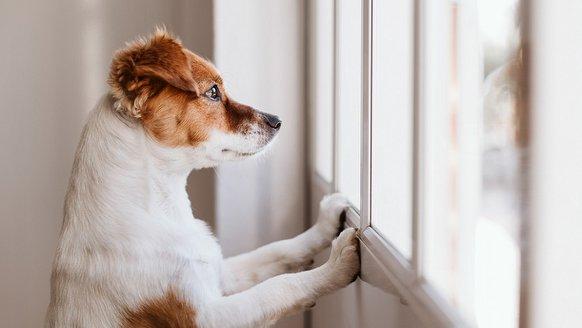 Köpekler de orta yaş krizi yaşıyor!