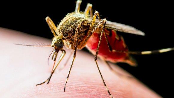 Sivrisinekten kanser dedektörü!