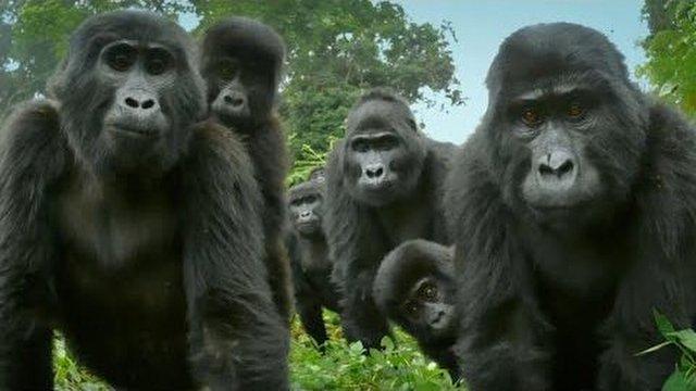 """Robot """"Casus"""" Goril, Gerçek Gorillerin Arasına Girerse Neler Olabilir?"""